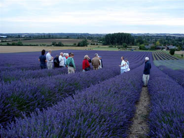The lavender fields at Cadwell Farm